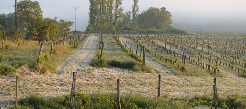 Frost hits French Vineyards