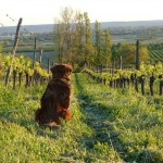 Dora the dog at Chateau Feely