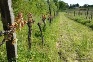 Chateau Feely Saussignac Frost damage April 2017