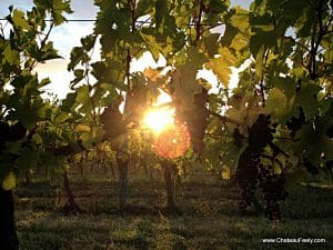 Dawn through merlot at Chateau Feely