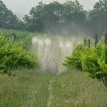 Spraying biodynamic 501 silica horn spray organic vineyard