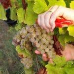 Organic sauvignon blanc grapes