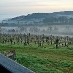 Feely vineyard - old semillon vines