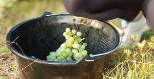 handpicked sauvignon blanc grapes