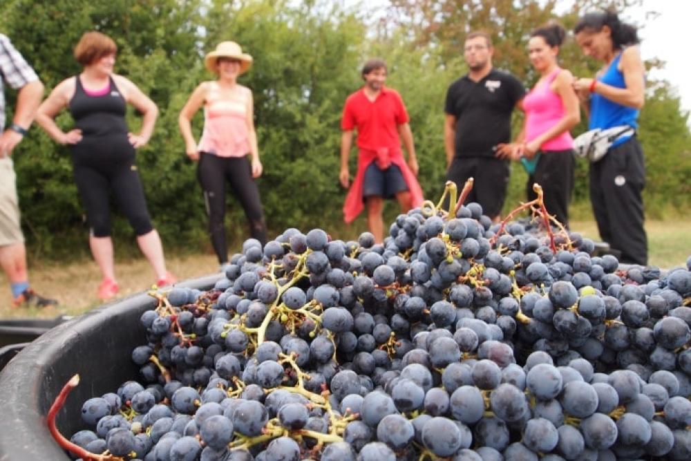 Organic merlot grapes hand harvest