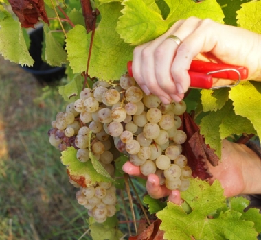 Vintage 2018 a test for organic winegrowers but harvest looking good
